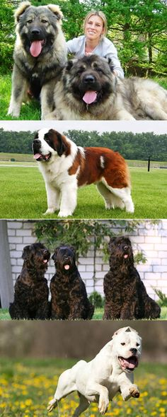 Крупные породы собак. описания, названия, клички и особенности крупных пород собак   живность.ру