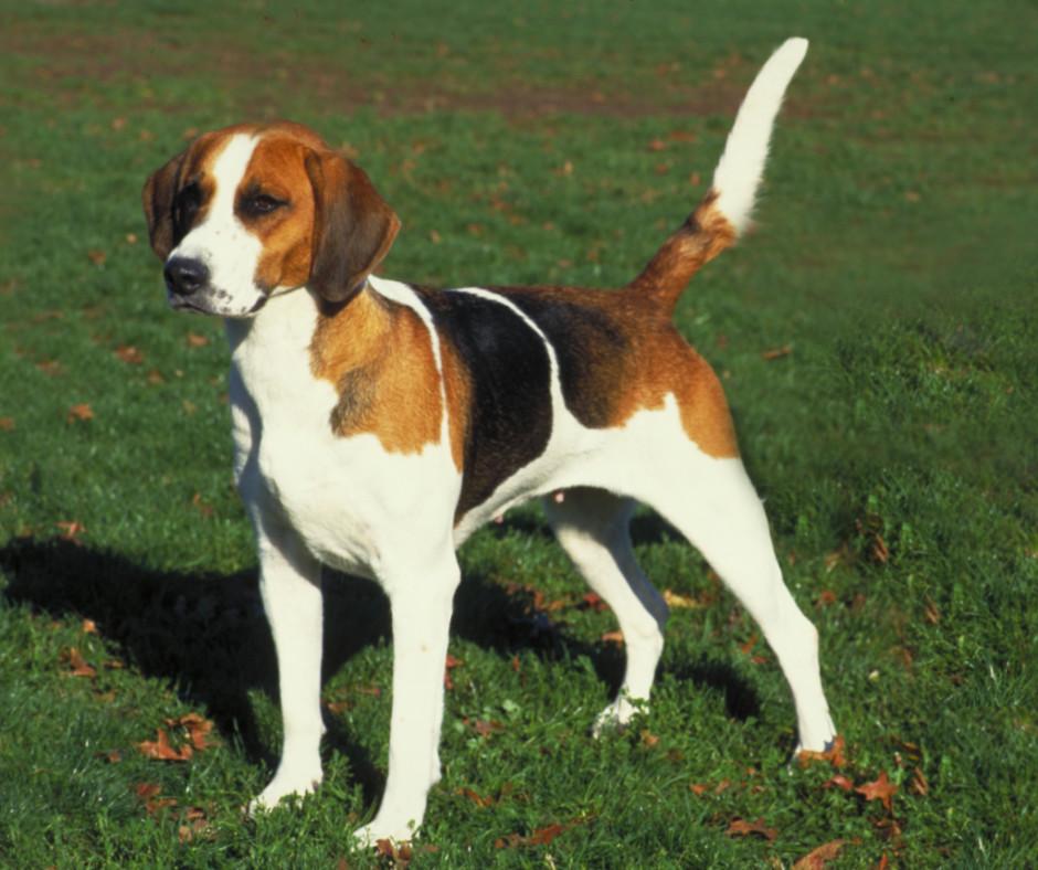 Американский фоксхаунд собака описание