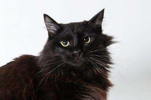 Йоркская шоколадная кошка   voprosoff.net