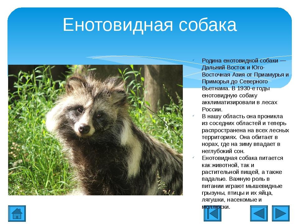 Енотовидная собака, её описание и фото, чем она отличается от енота