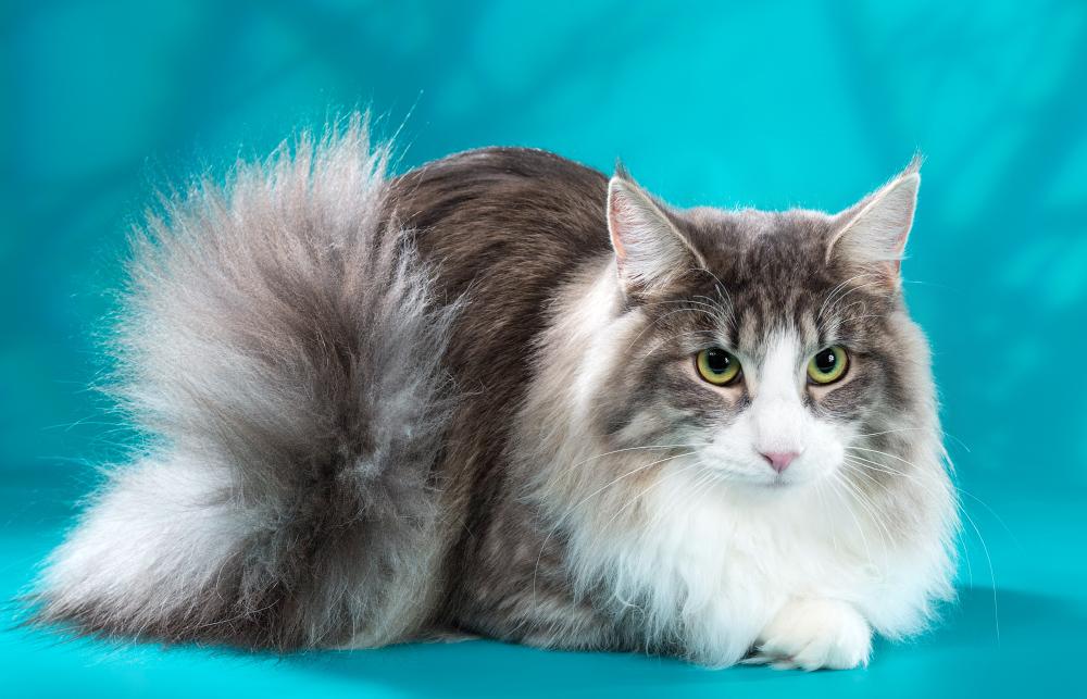 Норвежская лесная кошка — описание породы, характер, фото и цена котенка