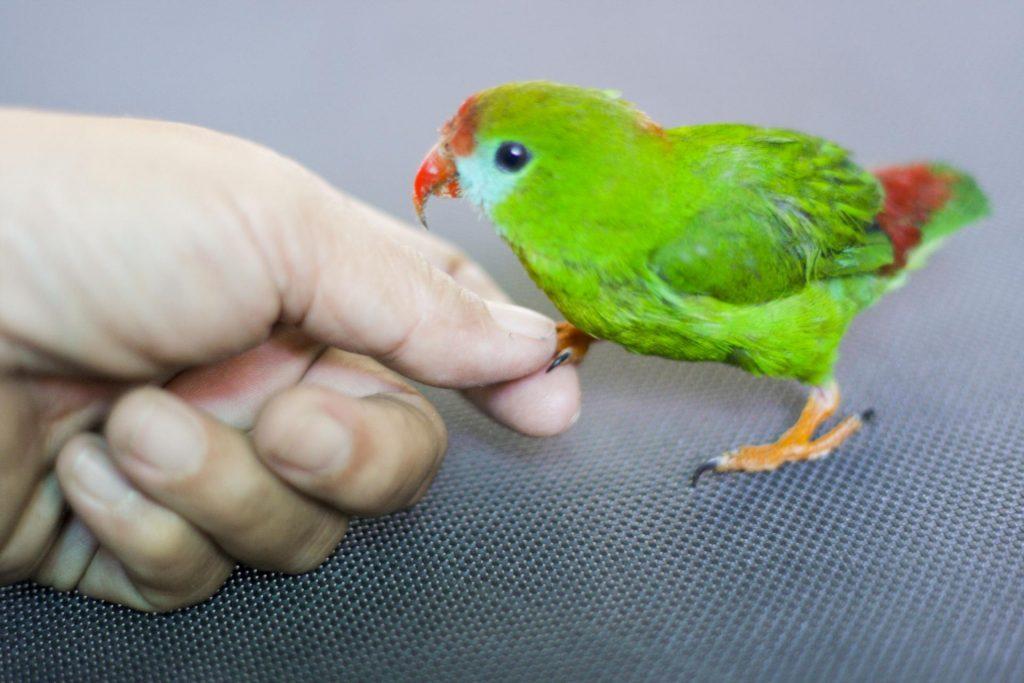 Секреты быстрого приручения волнистого попугая к рукам