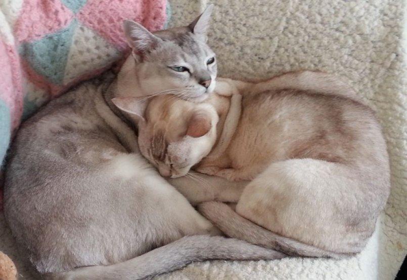 Какая порода кошек для детей лучше и почему: подборка с фото