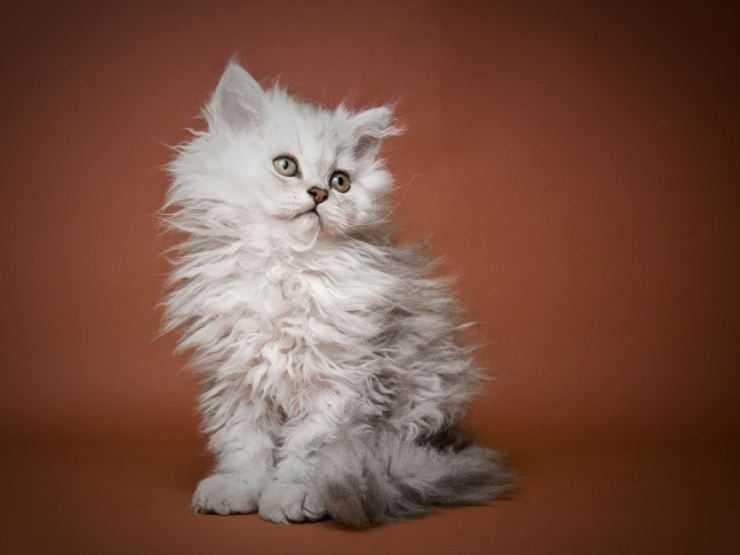 Пушистый кот: список самых лохматых пород