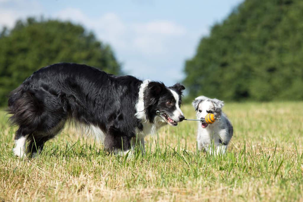 Бордер-колли – самая умная порода собак бордер-колли – самая умная порода собак