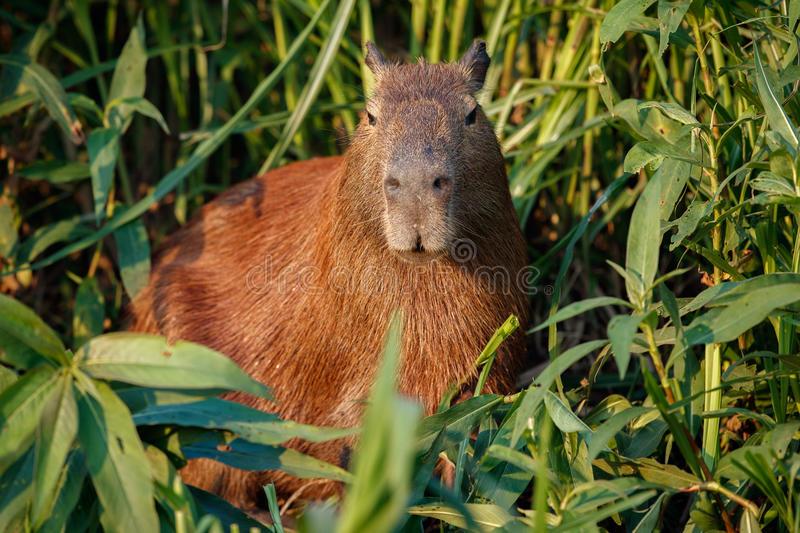 Капибара: что это за животное, как выглядит, где обитает, содержание в домашних условиях