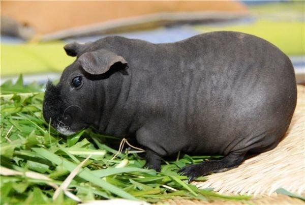 Лысая морская свинка (породы скинни и болдуин): уход и содержание, описание, особенности, цена, продолжительность жизни