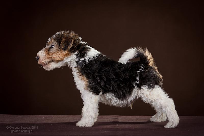 Разнообразие короткошёрстных собак: от чихуахуа до американского бульдога