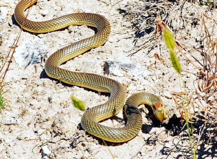 Змея желтобрюх удары хвостом, видео
