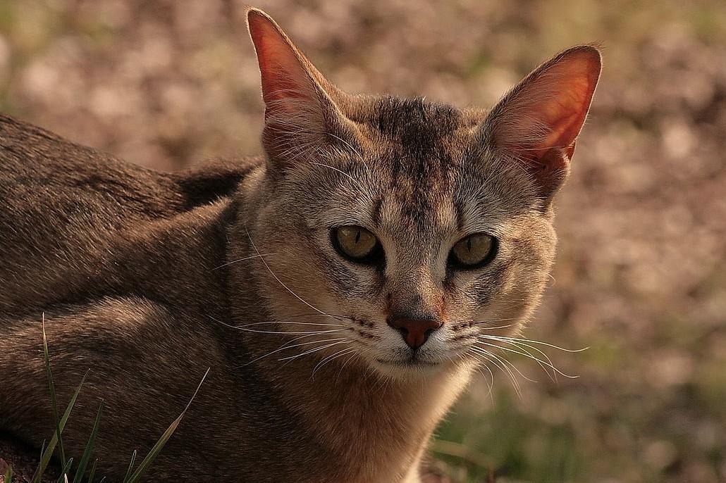 Порода кошек чаузи: фото, история, характер, здоровье, уход