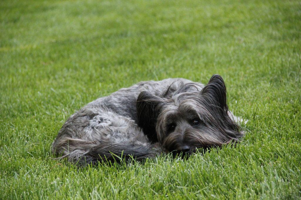 Скай терьер: фото, описание, характер, здоровье, содержание породы собак