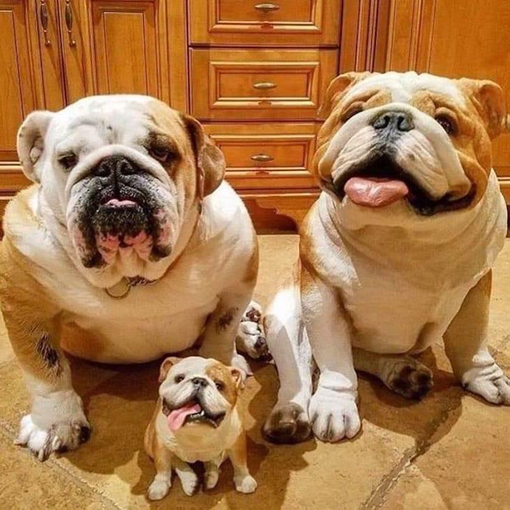 Самые смешные породы собак с фотографиями и описанием: 25 чудесных четвероногих