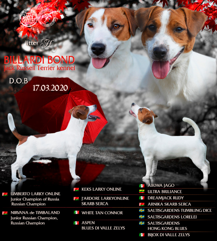 Рыжие собаки породы джек рассел терьер