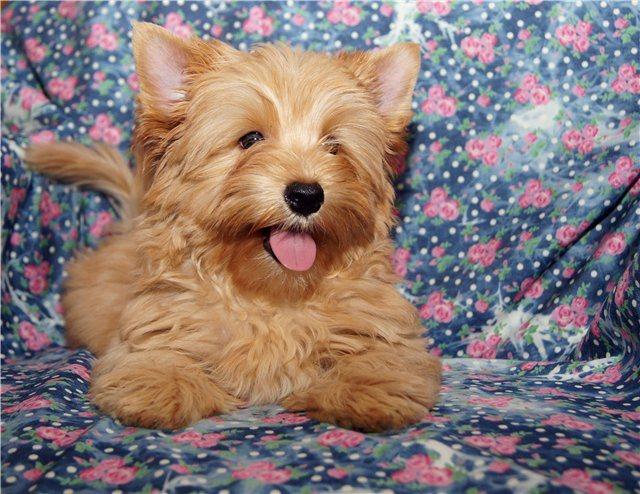 Йоркширский терьер ???? фото, описание, характер, факты, плюсы, минусы собаки ✔