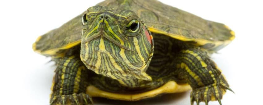 Почему домашние черепахи спят
