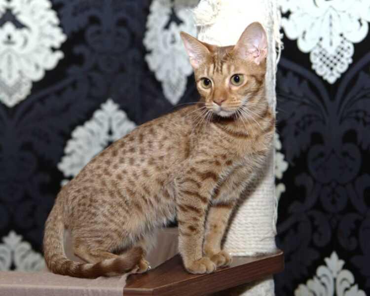 Оцикэт кошка : содержание дома, фото, купить, видео, цена