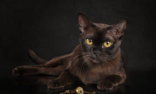 Бурмилла: все о кошке, фото, описание породы, характер, цена