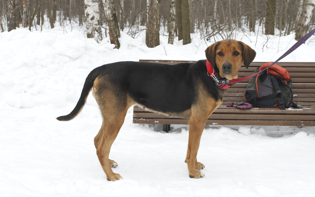 Гроза лисиц и зайцев – русская гончая собака: описание породы, фото, подходящие клички