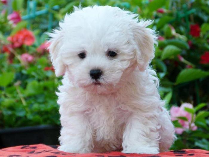 Болоньез или итальянская болонка описание породы собаки, характеристики, фото, правила ухода и содержания – petstory