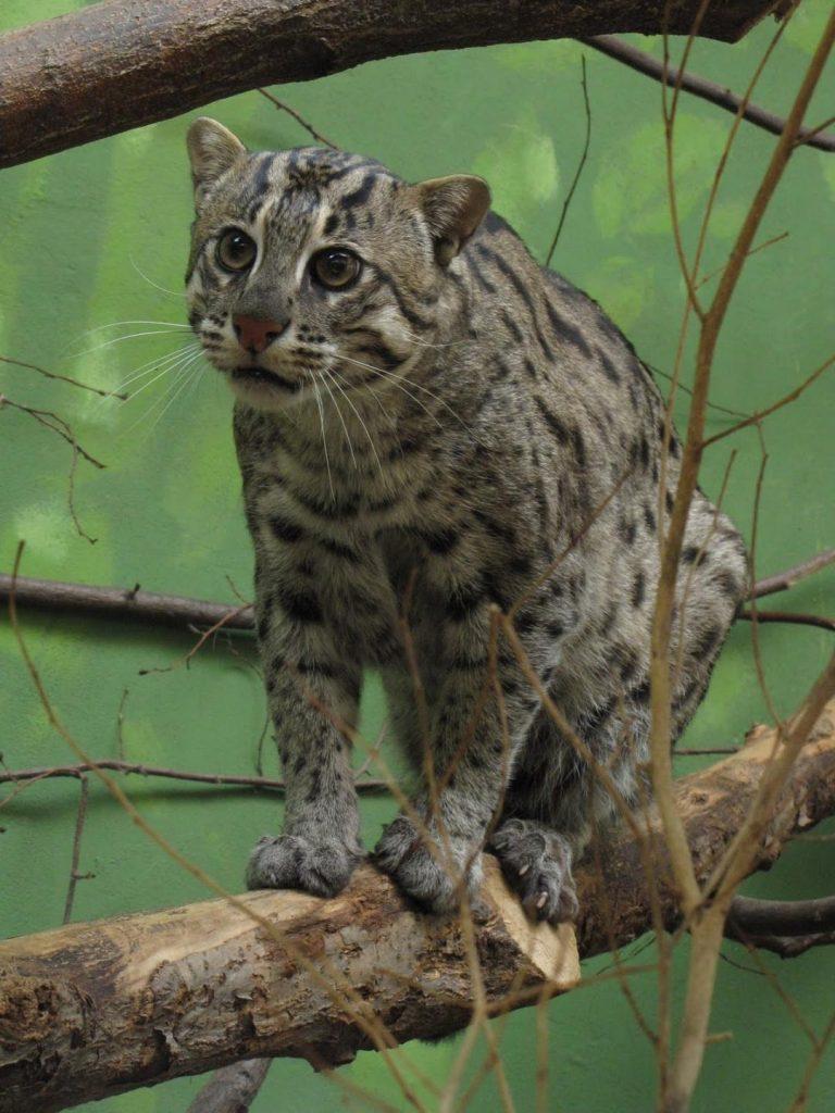 Кошка-рыболов или виверровый кот: 25+ фото, описание, содержание в неволе