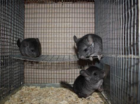Размножение шиншилл в домашних условиях | zoodom
