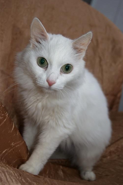 Почему белые кошки глухие: как проверить, что делать