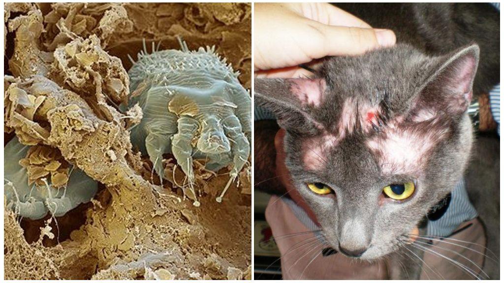 Общие болезни людей и кошек   ветврач купарев леонид