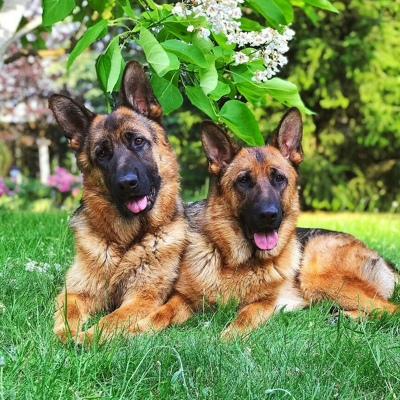 ≡ топ 13 ᐈ лучшие породы собак для охраны частного дома