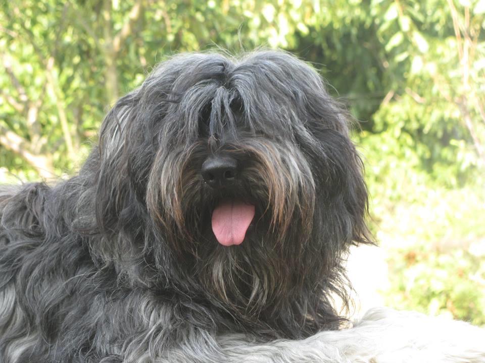 Мареммо-абруццкая овчарка: описание породы собак с фото и видео