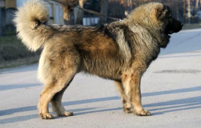 Кавказская овчарка – описание