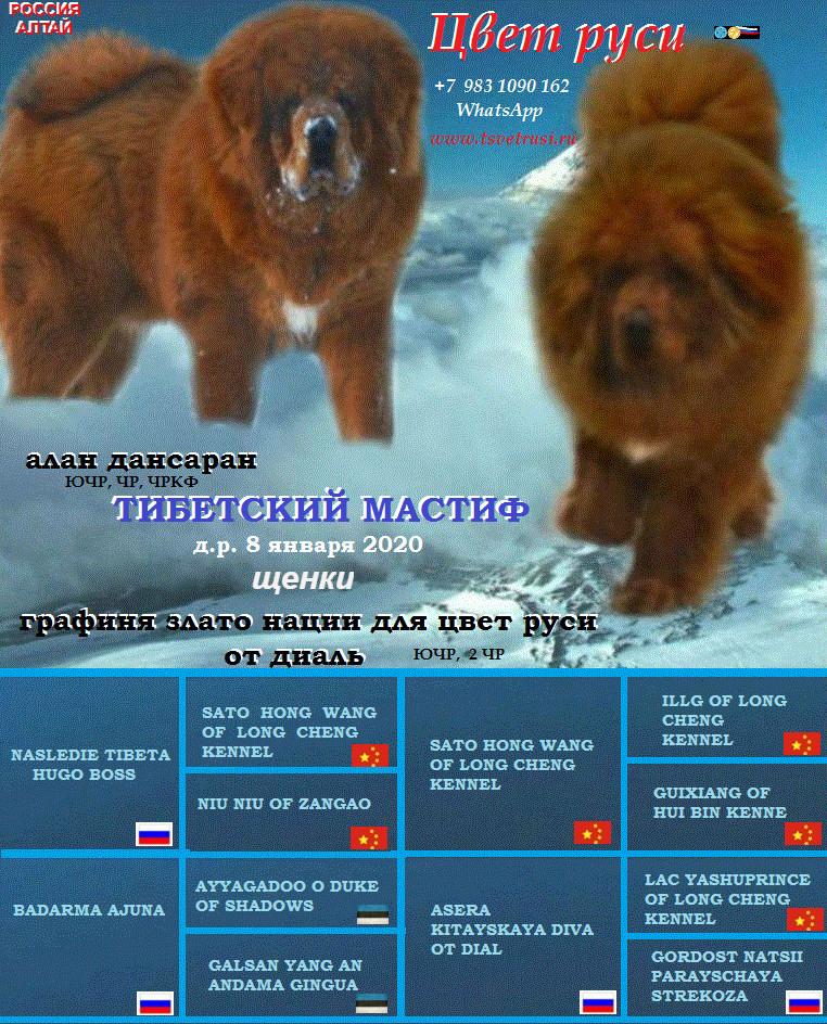 Тибетский мастиф: описание и характеристика породы
