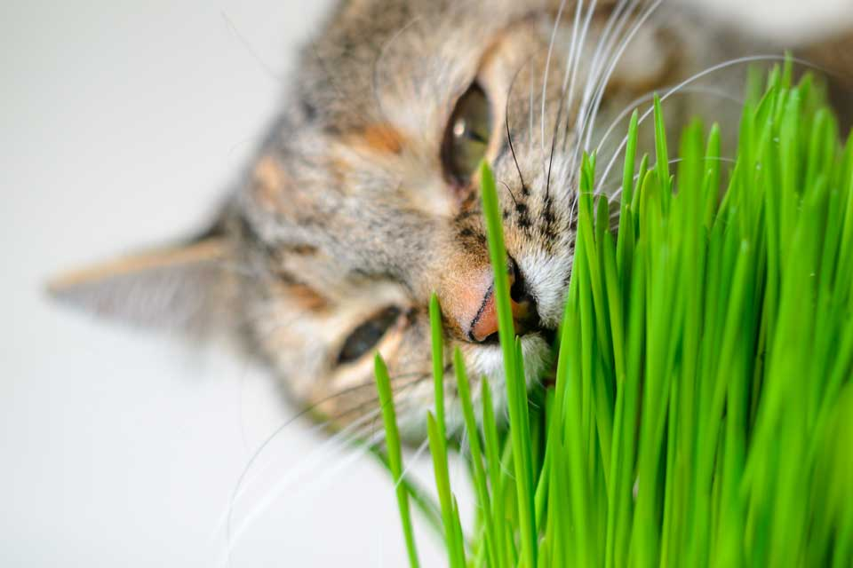 Трава для кошек: инструкция по применению