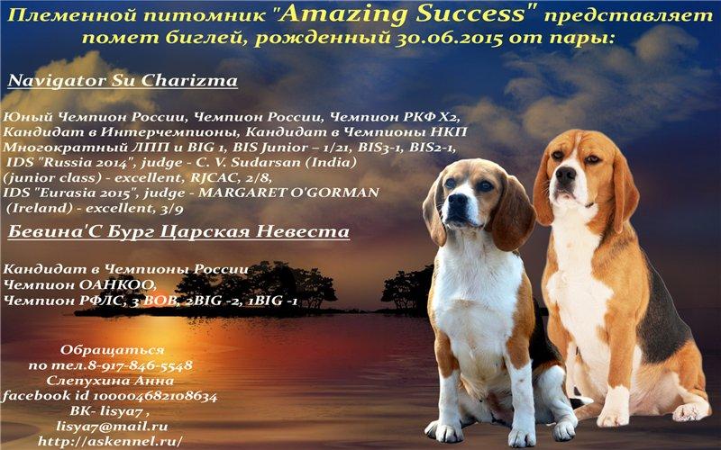 Как дрессировать и воспитывать бигля в домашних условиях   собаки мира