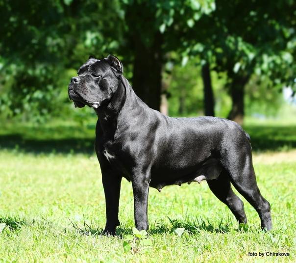 Кане-корсо: все о собаке, фото, описание породы, характер, цена