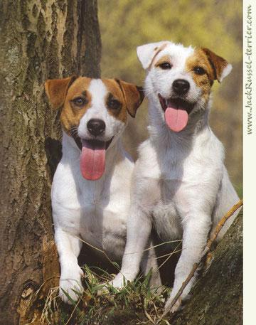 Джек-рассел-терьер: описание породы, характер и фото собаки, плюсы и минусы