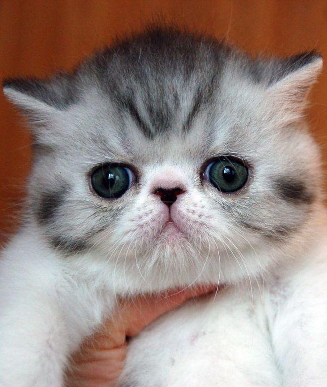 5 пород кошек с приплюснутой мордочкой: фото, описание, уход и забота о здоровье