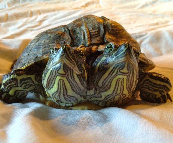 В природе красноухая черепаха живет в пресноводных водоемах, которые в зимний период могут покрываться льдом. в таких случаях красноухая черепаха впадает в спячку