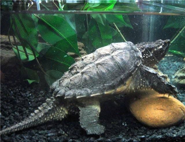 Каймановая черепаха. описание, фото, видео