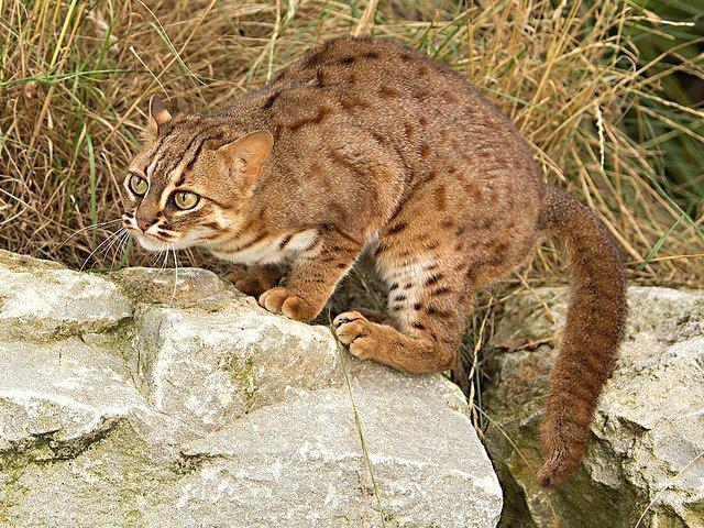 Ржавая кошка – маленький лесной хищник
