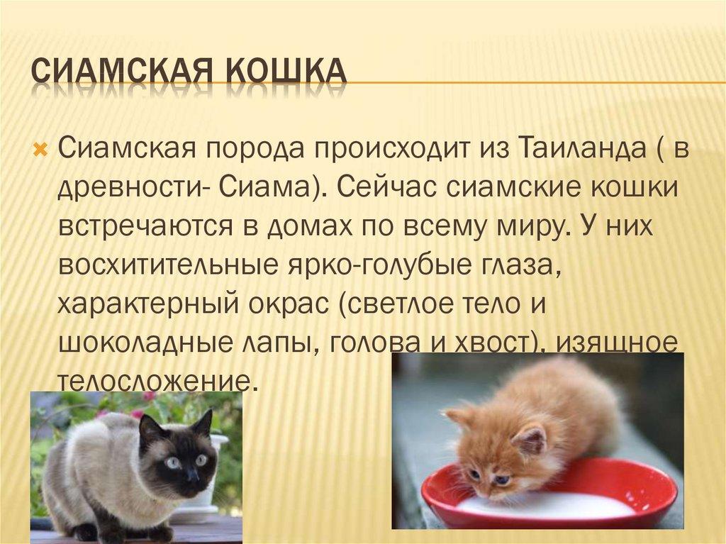 Сиамская кошка ???? фото, описание, характер, факты, плюсы, минусы кошки ✔