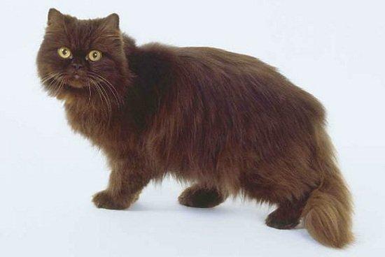 Йоркская шоколадная кошка: история породы, внешность, содержание, выбор