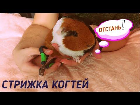 Ножницы для стрижки ногтей морских свинок