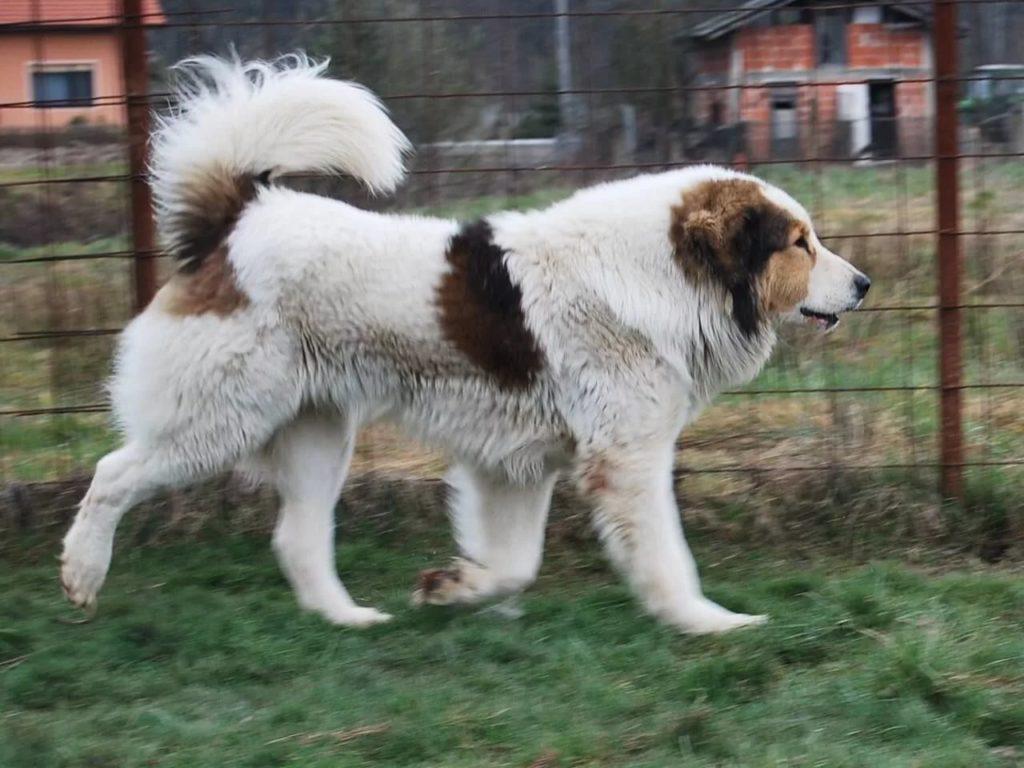 Пиренейская горная собака - все о породе