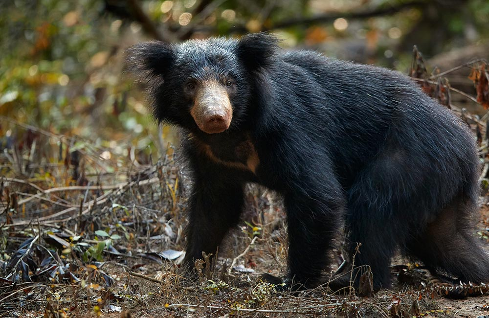 Медведь - 83 фото крупнейшего сухопутного хищника планеты