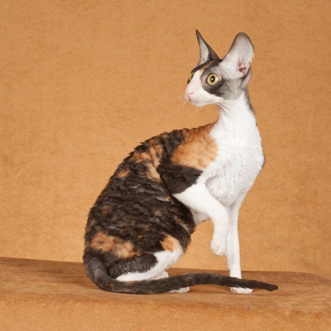 Кошки породы корниш-рекс: фото, цена котят, внешний вид, описание породы, характер