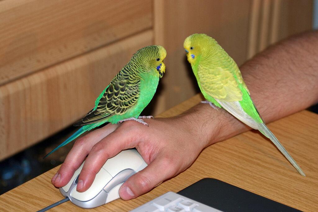 Как приручить волнистого попугая к рукам - видео, как быстро приручить пару, самку