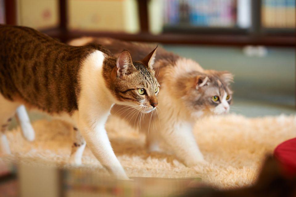 Лучшие породы кошек: рейтинг добрых, спокойных, здоровых, преданных, умных, неприхотливых котов для квартиры и дома