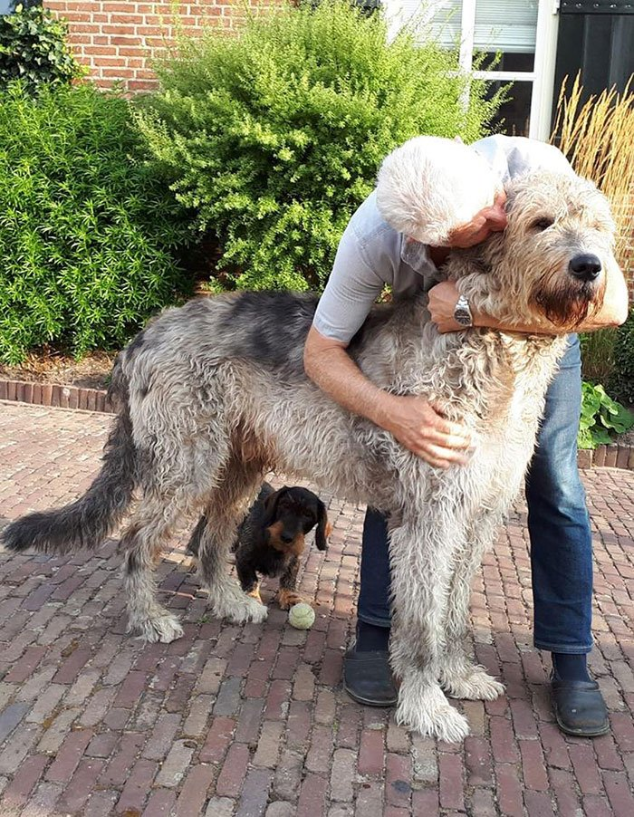 Ирландский волкодав: полный обзор породы собак с фото и видео