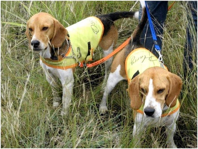 Охотничьи собаки: породы с фотографиями и названиями