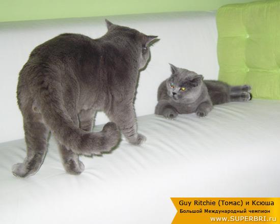 Как сводить кошку с котом первый раз - полезные советы